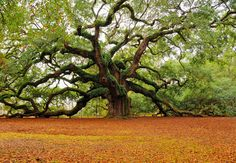 The Southern live oak is native to coastal areas, ranging from tidewater Virginia south to Florida and west along the Gulf Coast as far as Texas. This particular tree in S. Carolina is 1400 years old.