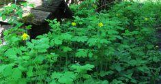 Chelidonium Maius czyli Glistnik Jaskółcze Ziele. Jedno (oprócz Wrotyczu) z najbardziej wszechstronnych ziół naszego klimatu. Jak łacińsk...