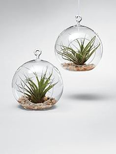 The air plant derives all its nutrients from the air and needs no soil to thrive.  Perfect, easy plant