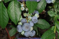 Growing Blueberries in a container is extremely easy and great fun!  They are also a very healthy food and classed as a super food!  learn how to grow Blueberry Trees in Containers here!