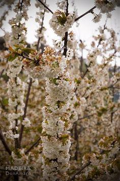 Cherry Blossom at Jardim da Serra Tags: #donamaro #madeira #madex #photography