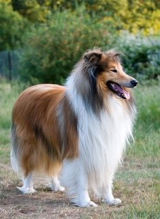 Beautiful Rough Collie Dog