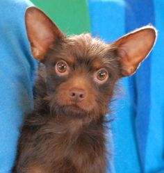 "One of the volunteers said it best -- ""Poseidon looks more like a teddy bear than a dog"".  Even cuter than his appearance is his happy-go-lucky and playful personality.  Poseidon is a chocolate Chihuahua & Terrier mix, neutered boy, 3 years young, debuting for adoption at Nevada SPCA (www.nevadaspca.org).  He adores people and dogs.  He would love to meet you!"
