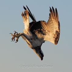 Osprey in Vertical Flight Pattern