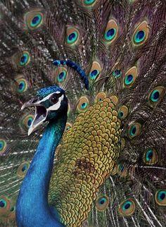Proud peacock   (Jaipal Singh / EPA)