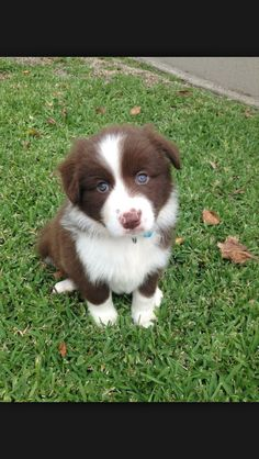 I have a border collie but I wish I had a puppy.