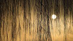 - Ramos de um salgueiro formam uma barreira natural ao nascer do sol em Mallnow, na Alemanha. Foto: Patrick Pleul / EFE