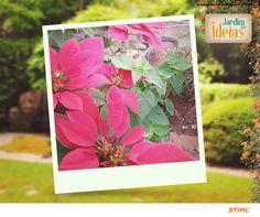 Foto das poinsettias que enfeitam o jardim da Cleni Diniz.  Essa espécie simboliza o Natal. Um charme, né?