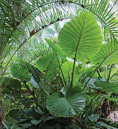 Ideas plants tropical elephant ears for 2019 I., Ideas plants tropical elephant ears for 2019 I., Ideas plants tropical elephant ears for 2019 I., Ideas plants tropical elephant ears for 2019 Tropical Backyard, Tropical Landscaping, Landscaping Plants, Garden Shrubs, Shade Garden, Garden Plants, Elephant Ear Plant, Elephant Ears, Elephant Tattoos