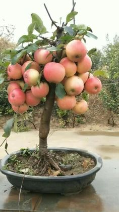 You are in the right place about DIY Edible gifts Here we offer you the most beautiful pictures about the DIY Edible you are looking for. When you examine the Bonsai Fruit Tree, Fruit Tree Garden, Dwarf Fruit Trees, Growing Fruit Trees, Veg Garden, Fruit Plants, Vegetable Garden Design, Bonsai Plants, Edible Garden