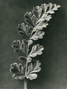 Erodium chrysanthum (Stork bill) by Karl Blossfeldt