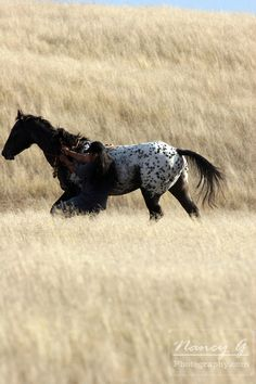 A Native American catching a pony on the prairie of South Dakota. Nancy Greifenhagen Photography