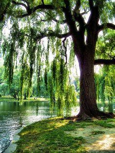 Lakeside willow