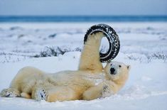 Polar bear playing with tire by Norbert Rosing: Photographed at Hudson Bay east of Churchill, Manitoba where unlike anywhere else in the arctic polar bears come to play with domesticated Canadian Eskimo sled dogs! Cute Funny Animals, Funny Animal Pictures, Animal Pics, Polar Bear Funny, Polar Bears, Teddy Bears, Old Tires, Top Funny, Brown Bear