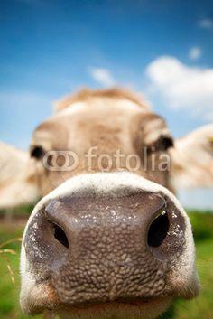 Cow with nose is near to me Agriculture, Labrador Retriever, Cow, Animals, Photos, Photo Illustration, Labrador Retrievers, Animales, Animaux