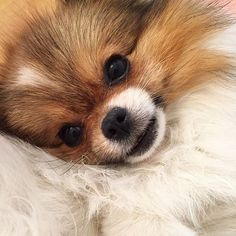 Sweet little face ❤️                                                                                                                                                                                 More #pomeranian