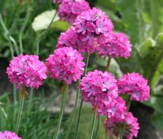 Armeria Sea Pink seeds germinate in about 21 days, and established Armeria Splenders makes a fabulous ground cover or rock garden flower. Armeria Maritima blooms with clasters of pink flowers in spring and summer. Plants With Pink Flowers, White Flowers, Blooming Flowers, Beautiful Gardens, Beautiful Flowers, Cottage Garden Design, Citrus Trees, Xeriscaping, Green Landscape