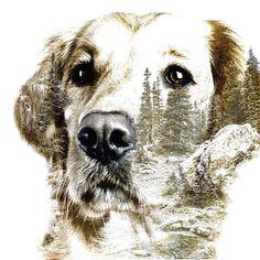 """30 To se mi líbí, 1 komentářů – Lucky❤️ (@luckygoldenretriever2018) na Instagramu: """"Sunday night with litle bit art work. My beauty ❤️ #artwork #doubleexposure #doglover #mountain…"""" Sunday Night, Double Exposure, My Beauty, Dog Lovers, Artwork, Dogs, Animals, Animales, Work Of Art"""