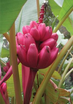 musa velutina = pink velvet banana... supposedly you can make a houseplant out of this!! seriously considering trying it!!