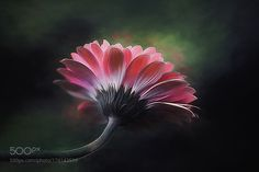 Pretty in Pink by clinthudson. @go4fotos