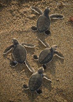 Baby sea turtles!!