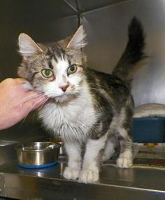 OHIO- PLEASE SHARE,THIS PRECIOUS GIRL FAR AND WIDE FOR PLEDGES, FOSTERS, ADOPTERS, RESCUE...EVERYTHING!   WANDA-Tabby - Brown Mix & Domestic Medium Hair-white  Tuscarawas County Humane Society  Dover, Ohio   Wanda is a spay classic brown tabby and white cat. This sweet Gal is very affectionate and likes people. She has a great personality and will make a great lap cat!!! For more information or to adopt contact the shelter at 330-602-6762 or visit our website at www.tuschumanesociety.com