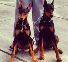 Dobermans <3 i think they are both red dobies. i miss mine. he's in heaven, with my little pom <3 they are probably chasing cats and playing tug o war together. my pom always won ;)