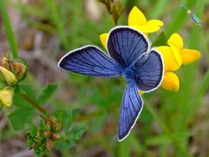 Butterflies are the most adorable creatures of the world; these are the day-flying insect and have the four stages of life cycle i.e. egg, larva, pupa and an adult butterfly. 10 Most Beautiful Species of Butterflies~