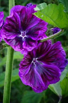Hollyhock (Malva sylvestris) (by stella) Purple Wisteria, Purple Garden, Purple Love, Purple Flowers, Hollyhocks Flowers, Pansies, Green Orchid, Color Violeta, Malva
