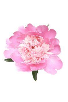 pink peony (mary jo  hoffman)