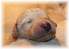 Harry the Labradoodle at 3 days old!  :)