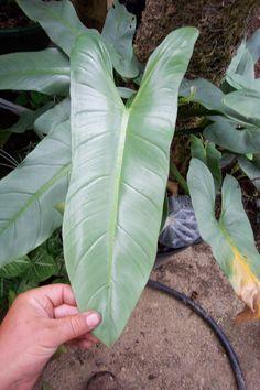 briansbotanicals - Philodendron hastatum (glaucophyllum)