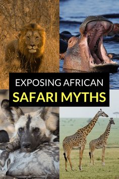 You will likely hear a number of safari myths that circulate amongst safari goers. Some have been repeated for so long that they take on a life of their Chobe National Park, Kruger National Park, Zanzibar Beaches, South Africa Safari, Game Reserve, African Safari, Amazing Adventures, Beautiful Places To Visit, Africa Travel