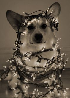 Festive AF - MaxtheCorgs