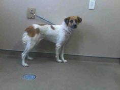 PRINCESS-ID#A677483    My name is PRINCESS.    I am a female, white and brown Australian Shepherd mix.    The shelter staff think I am about 3 years old.    I have been at the shelter since Oct 10, 2012.