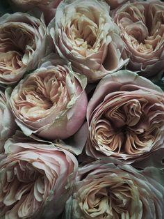 #roses | SPONS vormgevers