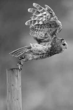 Black and White Photography - Owl