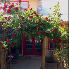 Roses in an arch