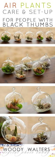 Indoor Gardening Air Plants: Set Up and Care for People who Kill Plants. They are REALLY REALLY EASY! And really really pretty. The perfect thoughtful gift for a gardener. - For those of us that need a plant that is easy to maintain. Succulents Garden, Garden Plants, Indoor Plants, Planting Flowers, Plants Sunny, Hanging Air Plants Diy, Indoor Herbs, Moss Garden, Tillandsia Usneoides