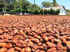 cocoa beans fermenting in the sun