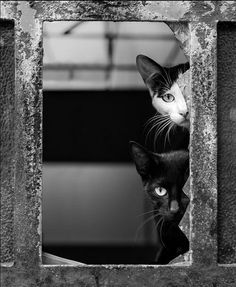 Cats Playing Pirates by Mario Pereira I Love Cats, Big Cats, Cute Cats, Weird Cats, Black White Art, Black And White Pictures, Creepy Animals, Cute Animals, Cat Window