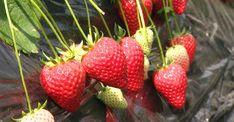 Strawberries - organicgarden.org.uk Strawberry Beds, Strawberry Patch, Strawberry Plants, Strawberry Shortcake, Japanese Sweets, Nhk, Delicious Fruit, Creating A Brand, Organic Recipes