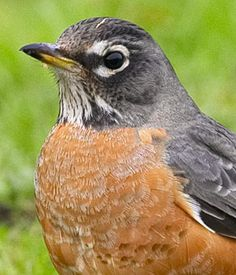 American Robin, Kingbirds, Bluebirds and Chickadees of North America Kinds Of Birds, All Birds, Beautiful Nature Pictures, Beautiful Birds, Bird Pictures, Animal Pictures, First Robin, Johnny Jump Up, Bird Identification