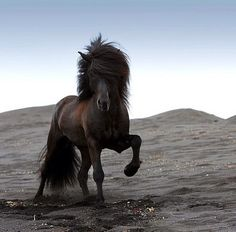 Icelandic Horse (photo credit: Ragnar Sigurdsson)