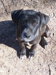 Juno is an adoptable Weimaraner Dog in North Augusta, SC. Juno is a great puppy! As of 2/20/12, she is about 13 weeks old. She has been microchipped and is current on all vaccinations. To adopt this p...