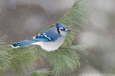 Blue Jay in Falling Snow|Algonquin Park, Ontario, Canada (Canadian bluejays are smaller than NC bluejays). **we may be smaller, but we're feistier! Pretty Birds, Beautiful Birds, Animals Beautiful, Small Birds, Little Birds, Jay Bird, Blue Bird, Ontario Birds, Names Of Birds