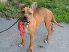 GONE 6/28/2015 --- Brooklyn Center DAPHNE – A1041075 FEMALE, TAN, AM PIT BULL TER MIX, 5 mos STRAY – STRAY WAIT, NO HOLD Reason ABANDON Intake condition EXAM REQ Intake Date 06/22/2015