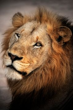 Cuddle Cat - A Male Lion stares almost affectionatly at me over his shoulder. Wild Animals Pictures, Lion Pictures, Animal Pictures, Beautiful Cats, Animals Beautiful, Cute Animals, Lion Eyes, Animal Categories, Carnivore