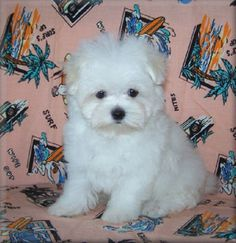 teacup maltese puppies for sale in louisiana   Zoe Fans Blog