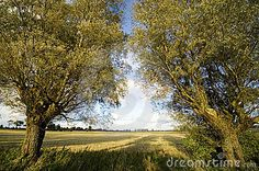 Two weepeing willow trees in a symmetry, late summer field in the background.
